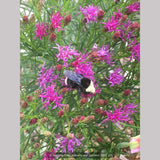 Perennials ~ Vernonia lettermanii 'Iron Butterfly', Ironweed ~ Dancing Oaks Nursery and Gardens ~ Retail Nursery ~ Mail Order Nursery