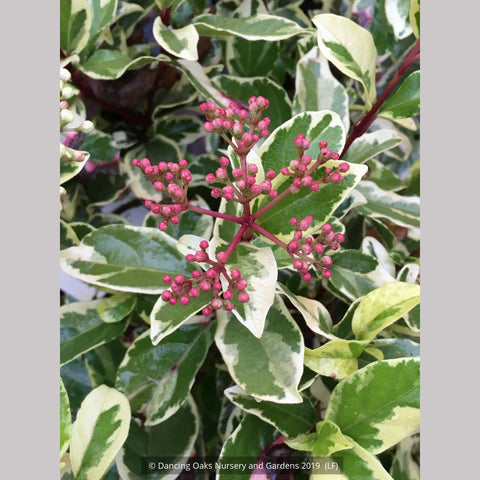 Shrubs ~ Viburnum tinus 'Variegatum, Variegated Laurustinus ~ Dancing Oaks Nursery and Gardens