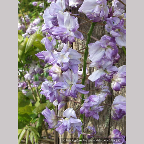 Vines ~ Wisteria floribunda 'Black Dragon', Japanese Wisteria ~ Dancing Oaks Nursery and Gardens ~ Retail Nursery ~ Mail Order Nursery