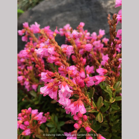 Shrubs ~ x Phylliopsis 'Coppelia' ~ Dancing Oaks Nursery and Gardens ~ Retail Nursery ~ Mail Order Nursery