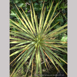 Perennials ~ Yucca filamentosa 'Hairy', Adam's Needle ~ Dancing Oaks Nursery and Gardens