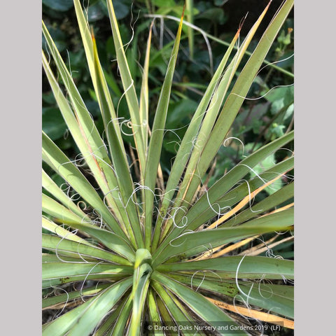 Perennials ~ Yucca filamentosa 'Hairy', Adam's Needle ~ Dancing Oaks Nursery and Gardens ~ Retail Nursery ~ Mail Order Nursery