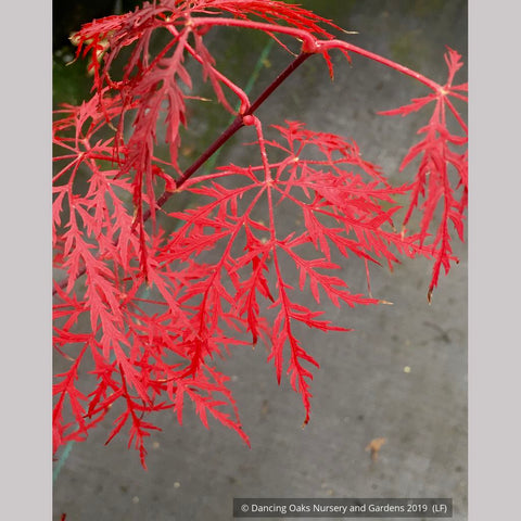 Trees ~ Acer palmatum 'Red Feather', Red Feather Japanese Maple ~ Dancing Oaks Nursery and Gardens ~ Retail Nursery ~ Mail Order Nursery