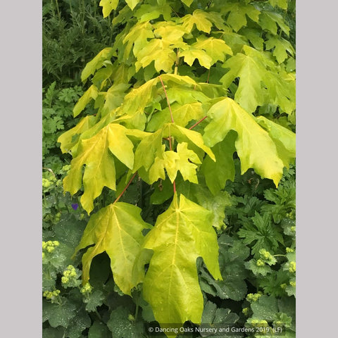 Trees ~ Acer macrophyllum 'Elynor's Heart of Gold', Golden Big-Leaf Maple ~ Dancing Oaks Nursery and Gardens ~ Retail Nursery ~ Mail Order Nursery