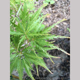 Trees ~ Acer palmatum 'Green Filigree', Japanese Maple ~ Dancing Oaks Nursery and Gardens ~ Retail Nursery ~ Mail Order Nursery