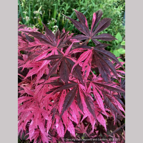 Trees ~ Acer palmatum 'Rainbow', Rainbow Japanese Maple ~ Dancing Oaks Nursery and Gardens ~ Retail Nursery ~ Mail Order Nursery