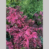Trees ~ Acer palmatum 'Rainbow', Rainbow Japanese Maple ~ Dancing Oaks Nursery and Gardens