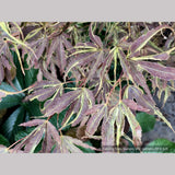 Trees ~ Acer palmatum 'Manyo no sato', Manyo no sato Japanese Maple ~ Dancing Oaks Nursery and Gardens ~ Retail Nursery ~ Mail Order Nursery