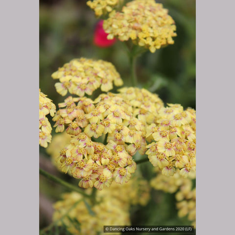 Perennials ~ Achillea 'Desert Eve ™ Terracotta', Yarrow ~ Dancing Oaks Nursery and Gardens ~ Retail Nursery ~ Mail Order Nursery