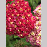 Perennials ~ Achillea 'Desert Eve™ Red', Yarrow ~ Dancing Oaks Nursery and Gardens ~ Retail Nursery ~ Mail Order Nursery