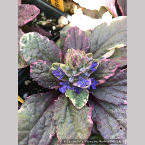 Ground Covers ~ Ajuga reptans 'Burgundy Glow', Bugleweed ~ Dancing Oaks Nursery and Gardens ~ Retail Nursery ~ Mail Order Nursery