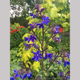 Perennials ~ Anchusa azurea 'Dropmore', Alkanet ~ Dancing Oaks Nursery and Gardens ~ Retail Nursery ~ Mail Order Nursery