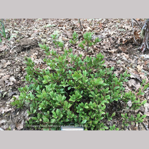 Shrubs ~ Arctostaphylos nevadensis 'Chipeta', Pine-mat Manzanita ~ Dancing Oaks Nursery and Gardens ~ Retail Nursery ~ Mail Order Nursery