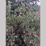 Shrubs ~ Arctostaphylos manzanita 'Elizabeth McClintock', Whiteleaf Manzanita ~ Dancing Oaks Nursery and Gardens