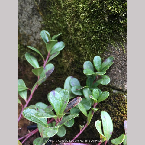 Ground Covers ~ Arctostaphylos uva-ursi 'Massachusetts', Kinnickinnick ~ Dancing Oaks Nursery and Gardens ~ Retail Nursery ~ Mail Order Nursery