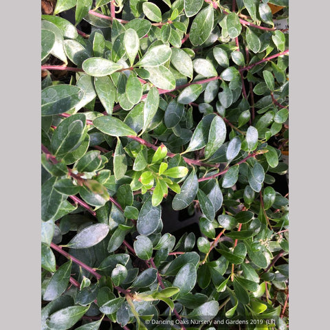 Shrubs ~ Arctostaphylos uva-ursi 'San Bruno Mountain', Kinnikinnick ~ Dancing Oaks Nursery and Gardens ~ Retail Nursery ~ Mail Order Nursery
