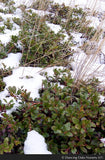 Shrubs - Arctostaphylos uva-ursi, Kinnickinnick - Dancing Oaks Nursery
