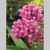 Perennials ~ Asclepias incarnata, Swamp Milkweed or Rose Milkweed ~ Dancing Oaks Nursery and Gardens ~ Retail Nursery ~ Mail Order Nursery