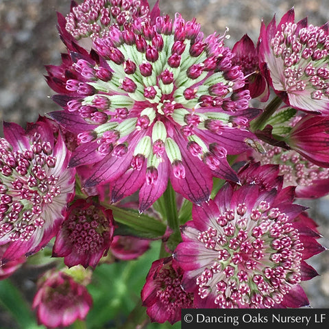 Perennials ~ Astrantia 'Star of Beauty', Masterwort ~ Dancing Oaks Nursery