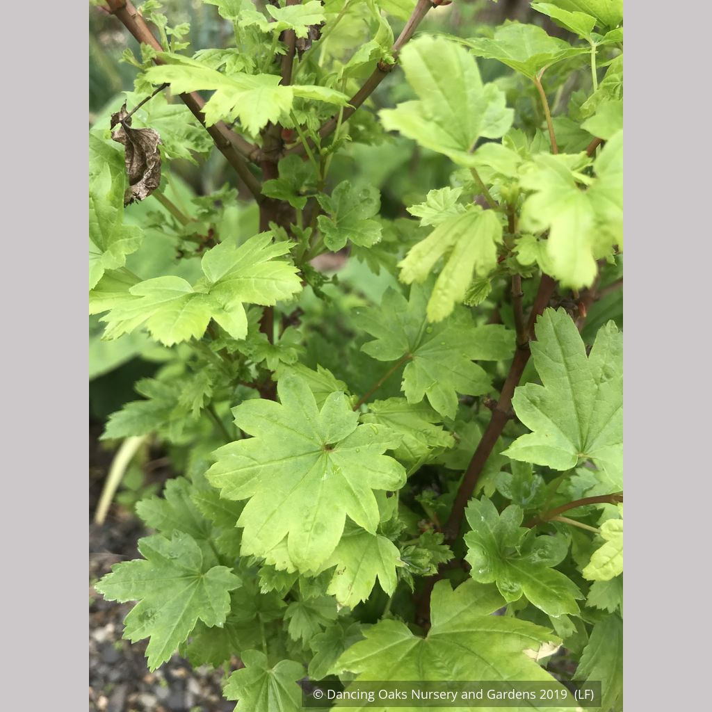 Acer Circinatum Baby Buttons Baby Buttons Dwarf Vine Maple