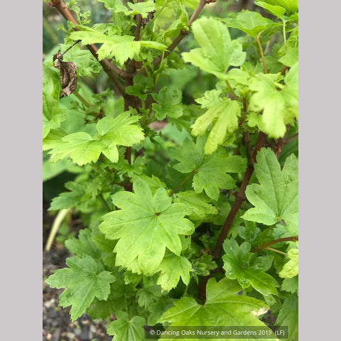 Trees ~ Acer circinatum 'Baby Buttons', Baby Buttons Dwarf Vine Maple ~ Dancing Oaks Nursery and Gardens