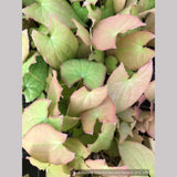 Perennials ~ Epimedium x youngianum 'Baby Doll Pink', Barrenwort ~ Dancing Oaks Nursery and Gardens ~ Retail Nursery ~ Mail Order Nursery