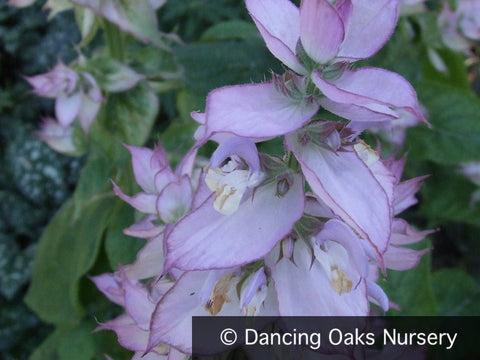 Biennials ~ Salvia sclarea var. turkestanica, Clary Sage ~ Dancing Oaks Nursery and Gardens ~ Retail Nursery ~ Mail Order Nursery