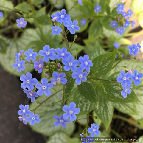 Perennials ~ Brunnera 'Silver Heart' PP #24,685, Siberian Bugloss ~ Dancing Oaks Nursery and Gardens