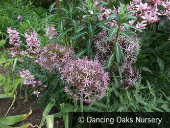 Bulbs & Tubers ~ Allium cristophii (christophii), Star of Persia ~ Dancing Oaks Nursery