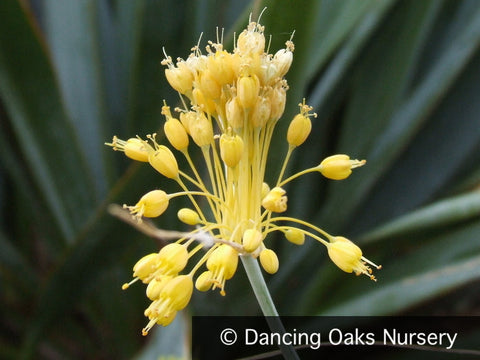 Bulbs & Tubers ~ Allium flavum, Ornamental Onion ~ Dancing Oaks Nursery