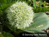Bulbs & Tubers ~ Allium karataviense 'Ivory Queen', Turkestan Onion ~ Dancing Oaks Nursery