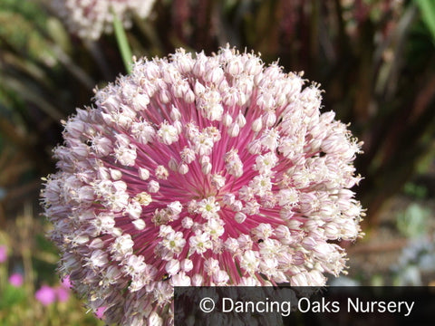 Bulbs & Tubers - Allium Sp., Ornamental Onion