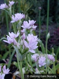 Bulbs & Tubers ~ Allium unifolium, Single Leaf Onion ~ Dancing Oaks Nursery