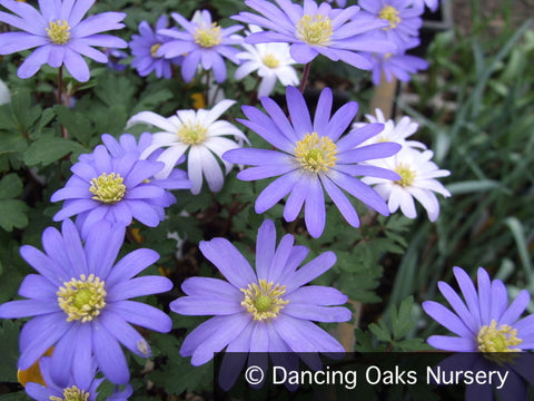Bulbs & Tubers ~ Anemone blanda 'Blue Shades', Grecian Windflower ~ Dancing Oaks Nursery