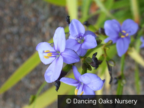 Bulbs & Tubers ~ Aristea ecklonii, Blue Stars ~ Dancing Oaks Nursery and Gardens ~ Retail Nursery ~ Mail Order Nursery