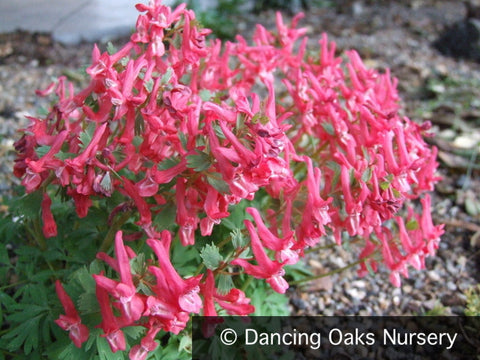 Bulbs & Tubers ~ Corydalis solida 'George Baker', Fumewort ~ Dancing Oaks Nursery and Gardens ~ Retail Nursery ~ Mail Order Nursery