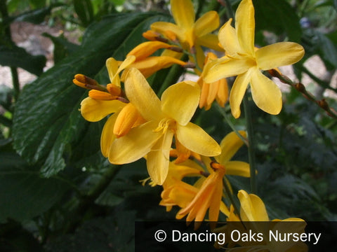 Bulbs & Tubers ~ Crocosmia x crocosmiiflora 'Solfatare', Crocosmia ~ Dancing Oaks Nursery and Gardens ~ Retail Nursery ~ Mail Order Nursery