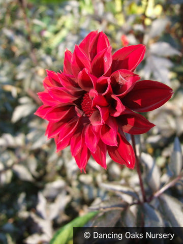 Bulbs & Tubers ~ Dahlia 'Fat Friar', Dahlia ~ Dancing Oaks Nursery