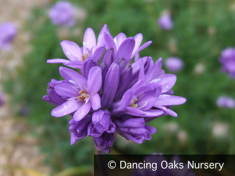 Bulbs & Tubers - Dichelostemma Congesta, Field Cluster Lily