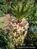 Bulbs & Tubers - Eucomis 'Can Can', Pineapple Lily