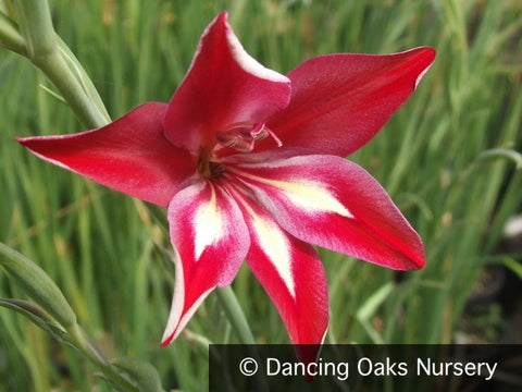 Bulbs & Tubers ~ Gladiolus cardinalis, Hardy Gladiola/Waterfall Lily ~ Dancing Oaks Nursery and Gardens ~ Retail Nursery ~ Mail Order Nursery