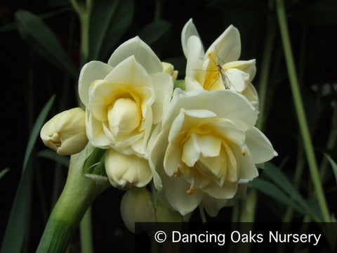 Bulbs & Tubers ~ Narcissus 'Erlicheer', Daffodil ~ Dancing Oaks Nursery and Gardens ~ Retail Nursery ~ Mail Order Nursery