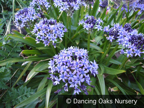 Bulbs & Tubers ~ Scilla peruviana, Portuguese Squill ~ Dancing Oaks Nursery and Gardens ~ Retail Nursery ~ Mail Order Nursery
