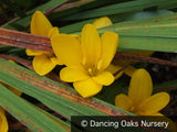 Bulbs & Tubers ~ Sternbergia lutea, Winter Daffodil ~ Dancing Oaks Nursery and Gardens ~ Retail Nursery ~ Mail Order Nursery