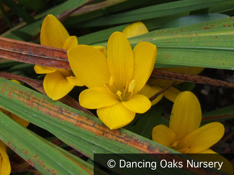 Bulbs & Tubers ~ Sternbergia lutea, Winter Daffodil ~ Dancing Oaks Nursery
