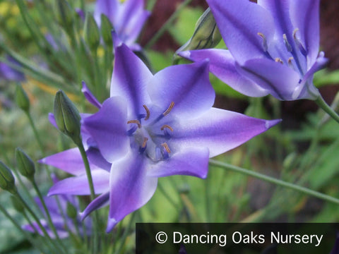 Bulbs & Tubers ~ Triteleia laxa 'Rudy' ~ Dancing Oaks Nursery and Gardens ~ Retail Nursery ~ Mail Order Nursery