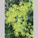Shrubs ~ Bupleurum fruticosum, Shrubby Hare's Ear ~ Dancing Oaks Nursery and Gardens ~ Retail Nursery ~ Mail Order Nursery