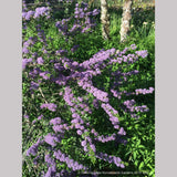 Shrubs ~ Ceanothus 'Blue Jeans', California Lilac ~ Dancing Oaks Nursery and Gardens ~ Retail Nursery ~ Mail Order Nursery