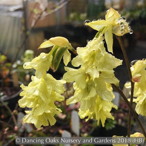 Shrubs ~ Corylopsis glabrescens 'Longwood Chimes', Winter Hazel ~ Dancing Oaks Nursery and Gardens ~ Retail Nursery ~ Mail Order Nursery