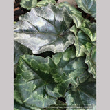 Bulbs & Tubers ~ Cyclamen hederifolium, Hardy Cyclamen ~ Dancing Oaks Nursery and Gardens ~ Retail Nursery ~ Mail Order Nursery